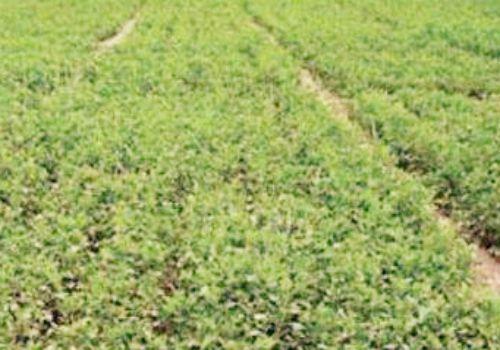 甘草的种植方法和注意事项介绍!